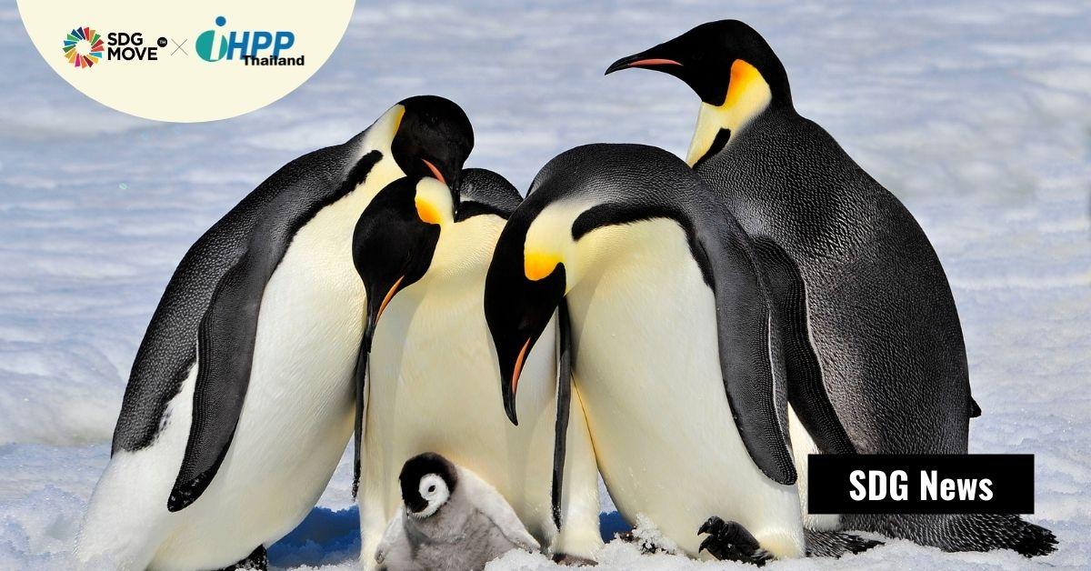 98% ของอาณานิคมเพนกวินจักรพรรดิอาจจะสูญพันธุ์ภายในปี 2100 เมื่อน้ำแข็งละลายจากภาวะโลกรวน